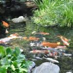 Naturteich mit Koi und Filteranlage