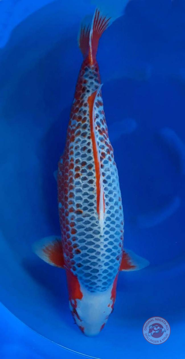 Asagi-75-cm