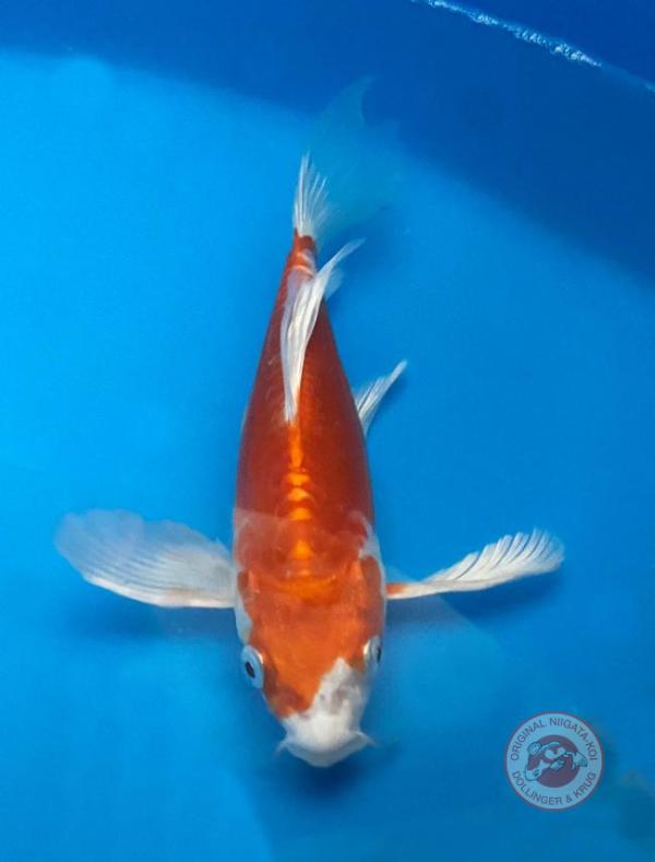 Doitsu-Longfin-Hariwake-25-30-cm-Tateshita