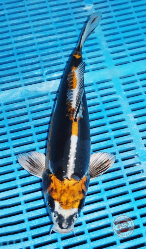L-Doitsu-Beni-Kiko-35-cm